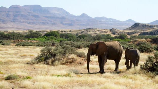 Elefanten in Namibia.