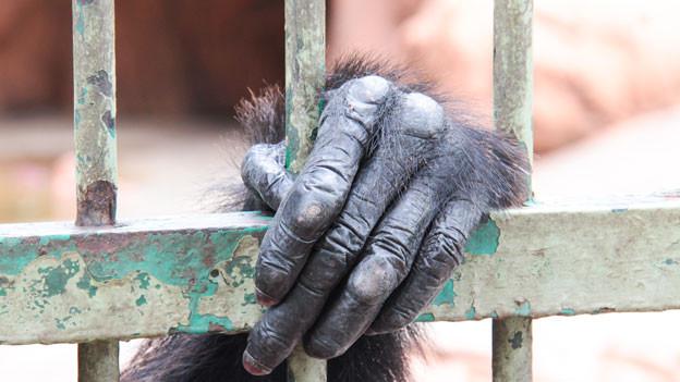 Hand von Affe