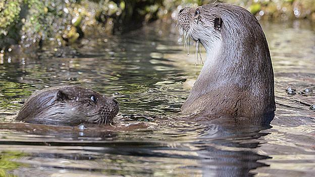 Nachwuchs im Zoo: Fischotter tummeln sich im Wasser.