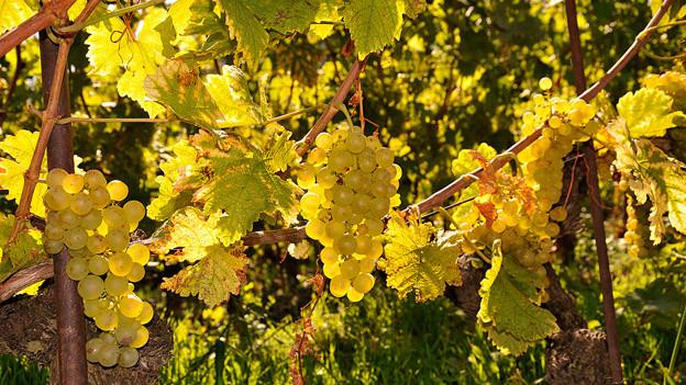 Weisse Weintrauben im Sonnenlicht.