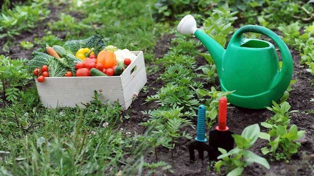 Korb mit Gemüse im Garten.