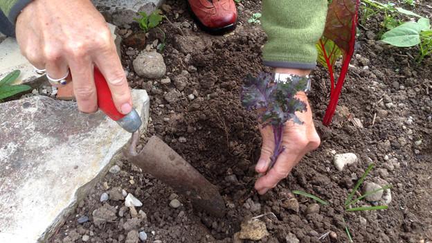 Jemand setzt Kohl-Pflanze in die Erde.