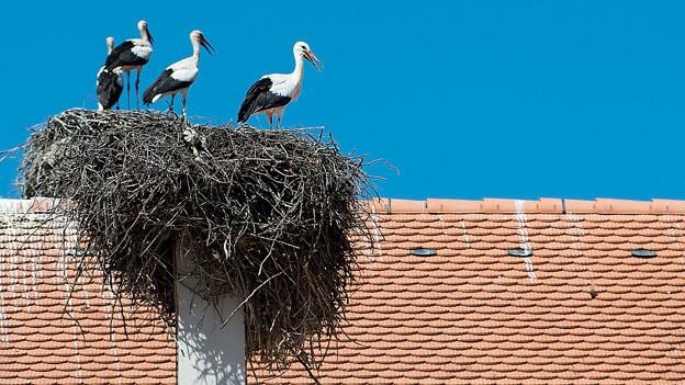 Störche im Nest.