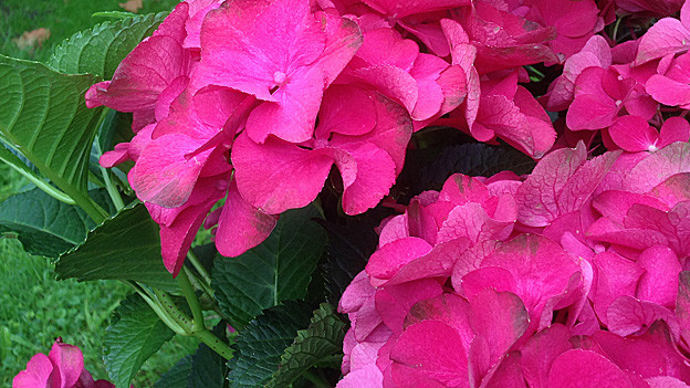 Pinkfarbene Hortensien.