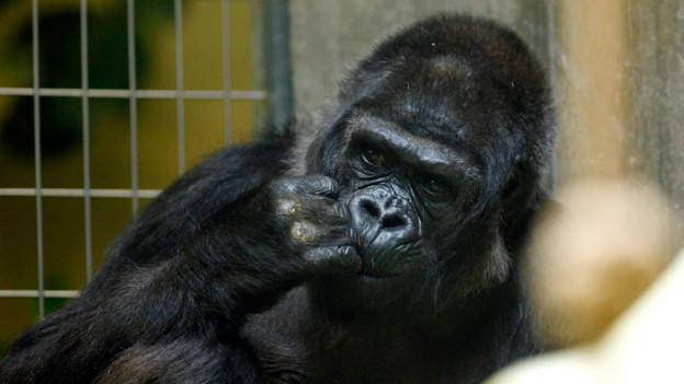 Goma hatte in ihrem langen Leben im Zoo einmal Nachwuchs. 1971 kam ihr Sohn Tamtam zur Welt.