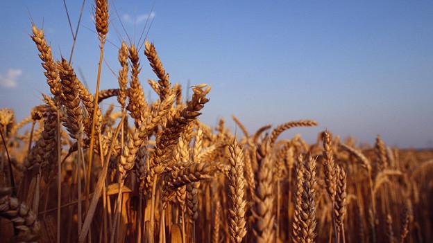 Weizenfeld unter blauem Himmel.