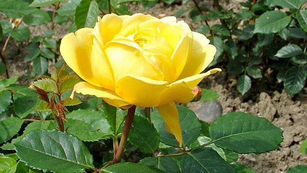Gelbe Rose.