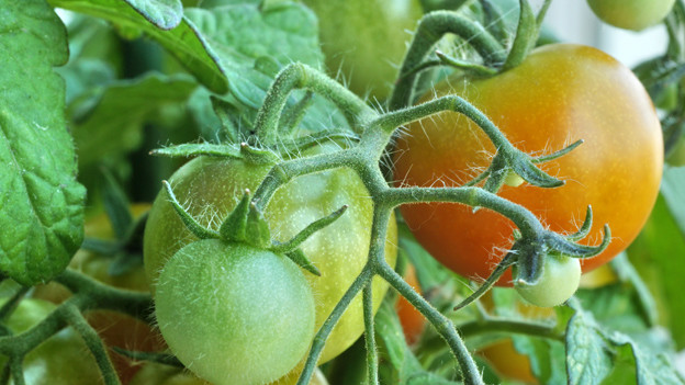Reife und unreife Tomaten.