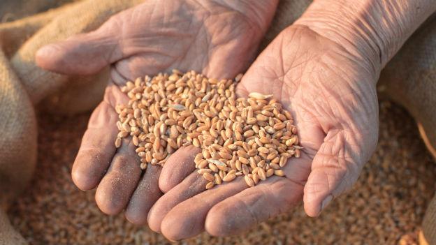 Weizenkörner in zwei Handflächen