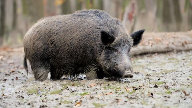 Wildschwein in der Natur.