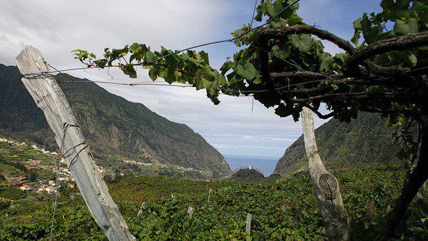 Rebberg auf Madeira.