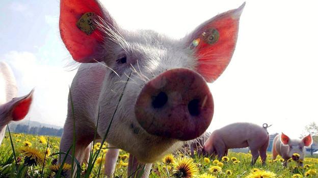 Schwein von vorne mit der Schnauze nah an der Kamera.