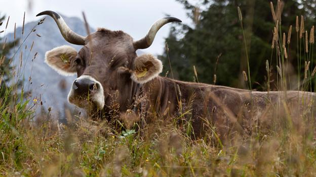 Kuh mit Hörnern blickt in die Kamera.