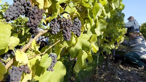 Weine variieren in Preis und Qualität stark.