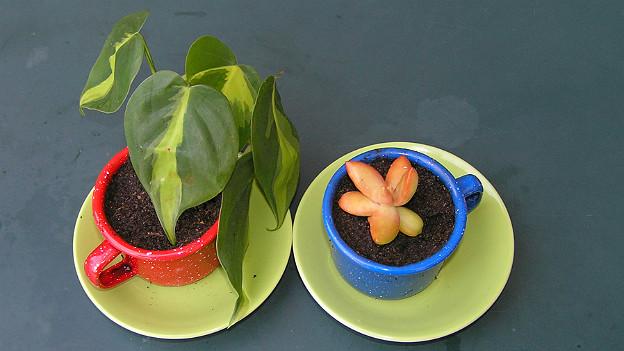 Zwei Zimmerpflanzen in rotem und blauem Gefäss auf Tisch
