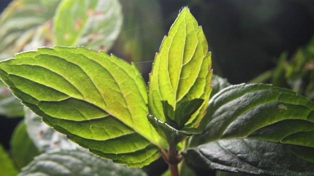 Nahaufnahme einer Minzenpflanze