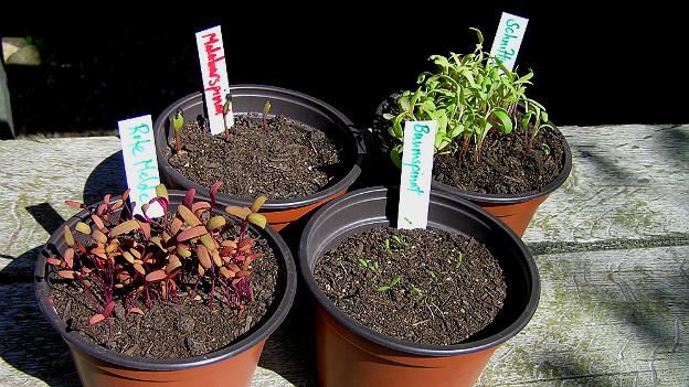 Vier Blumentöpfe mit Jungpflanzen