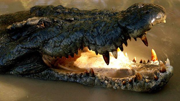 Krokodil im Fluss.