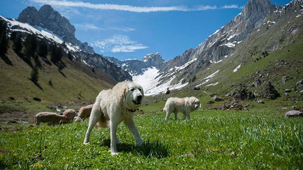 Bellender Herdenschutzhund auf Alpwiese.