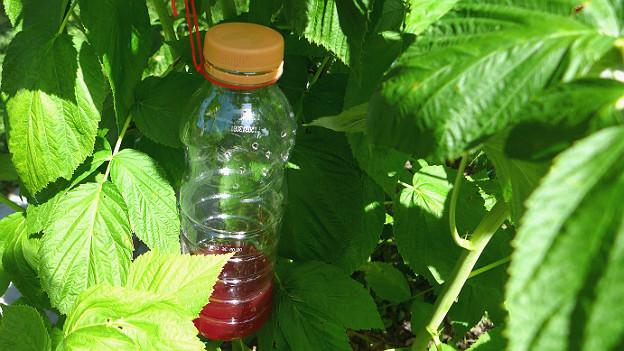 Petflasche mit roter Flüssigkeit hängt zwischen Himbeerblättern im Strauch