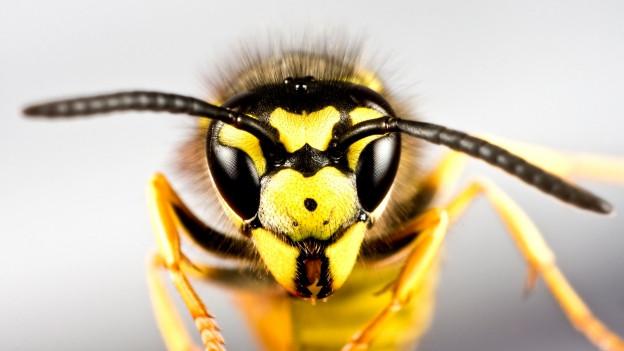 So schützen Sie sich vor Wespen - Ratgeber - SRF