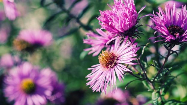 Rosa blühende Chrysanthemen.