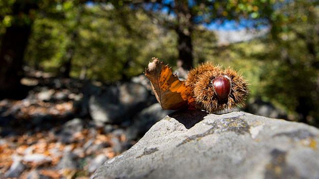 Eine Kastanie liegt auf einem Stein im Wald.
