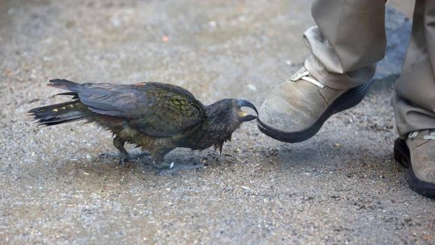 Rabe pickt in einen Schuh.