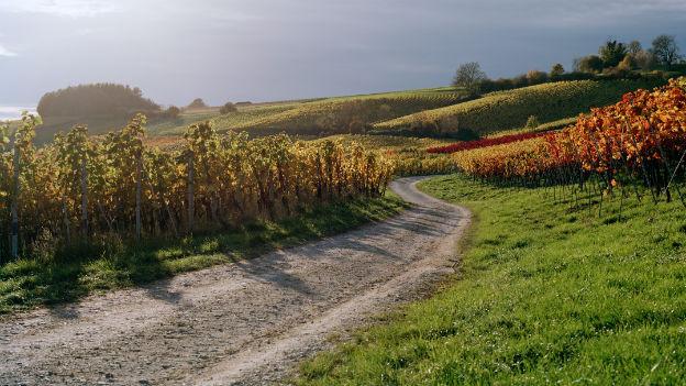 Rebberg im Herbst.