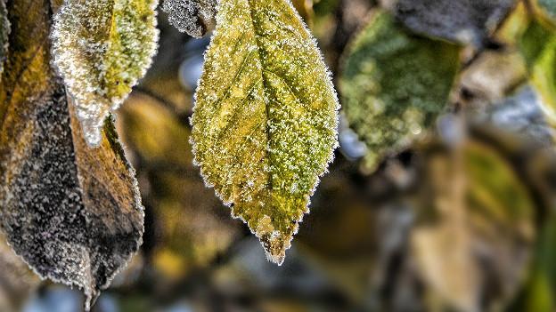 Herbstblätter mit Raureif