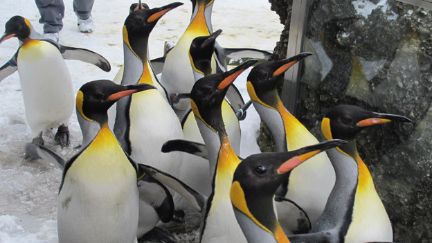 Pinguine auf dem Spaziergang durch den Züricher Zoo.