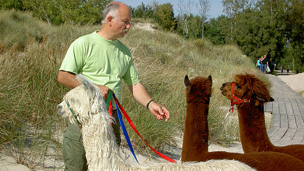 Paul Gerber mit Alpacas.