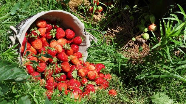 Ausgeleerter Korb mit Erdbeeren im Gras.