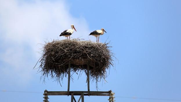 Zwei Störche im Nest.