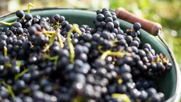 Rote Weintrauben.