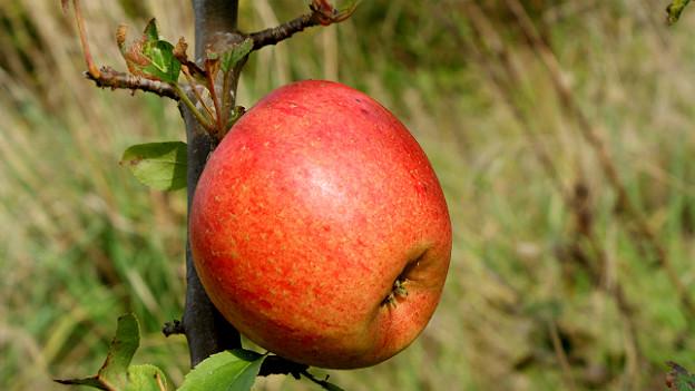 Ein roter Apfel hängt an einem kurzen Zweig nah beim Stamm.