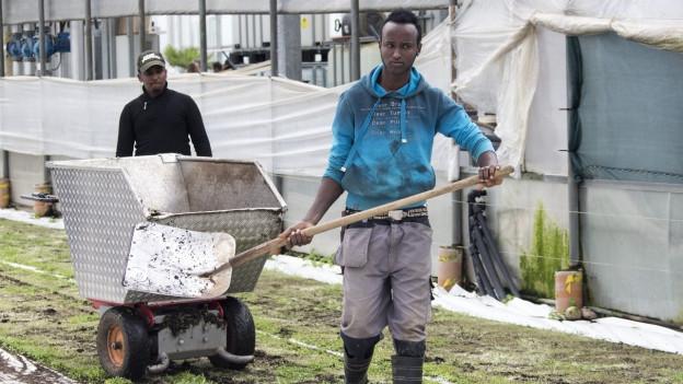 Flüchtlinge arbeiten auf dem Feld.