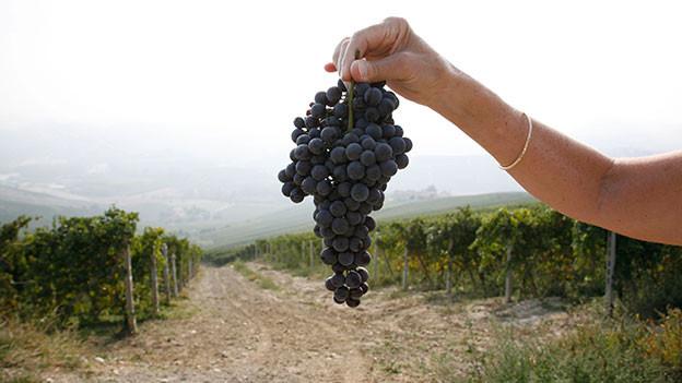 Jemand hält eine Traube ins Bild. Im Hintergrund sind Reben im Piemont zu sehen.