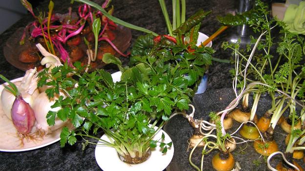 Diverse Abschnitte von Gemüse stehen in Tellern mit Wasser und treiben frische Sprossen.
