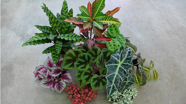 Bunte und gemusterte Blätter von mehreren Zimmerpflanzen
