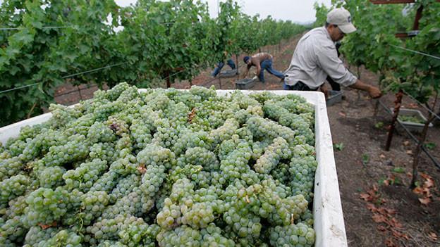 Männer bei der Weinlese im Nappa Vally.