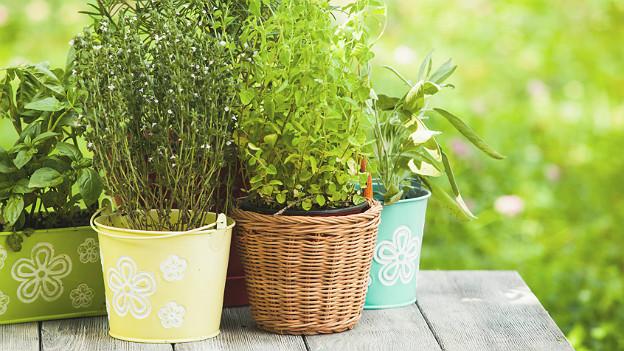 mehrere bunte Pflanzegefässe mit Küchenkräutern