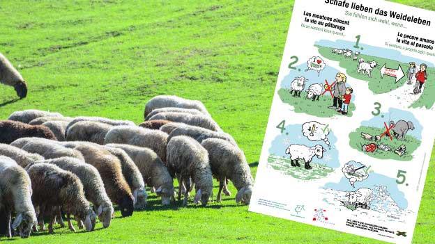 Fotomontage: Schafe weiden, neue Info-Tafel.