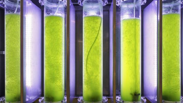 Röhren mit grünen Mikroalgen.