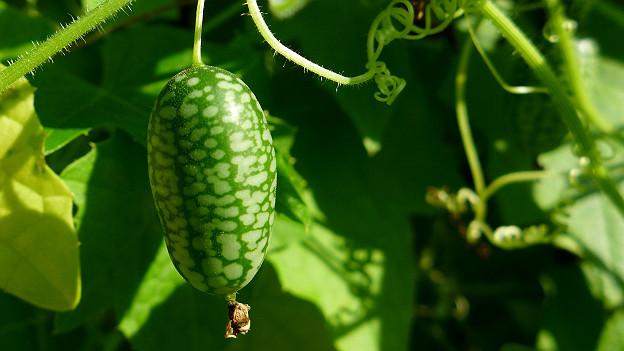Eine grün und hellgrün gescheckte Mini-Gurke hängt an der Pflanze