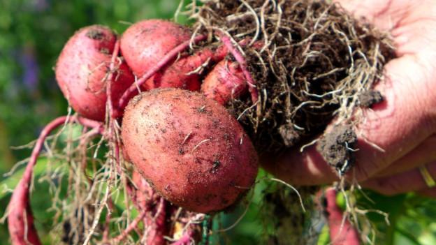 Einige frisch aus dem Boden gezogene Süsskartoffeln mit Wurzeln und rötlicher Haut in einer Hand.
