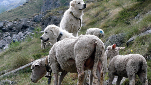 Schafe und Herdenschutzhunde auf der Alp.