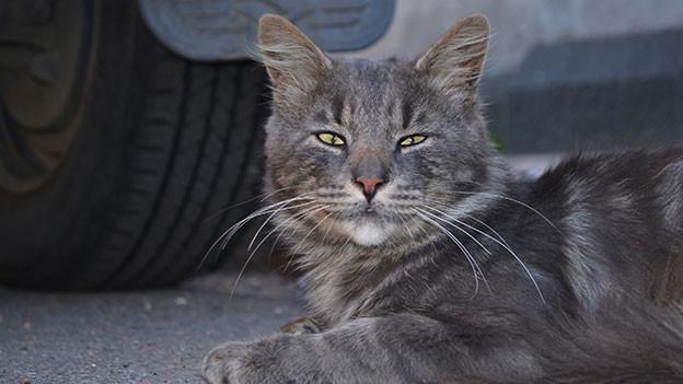 Graue Katze liegt vor einem Autoreifen am Boden.