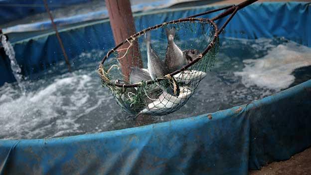 Fische im Netz.
