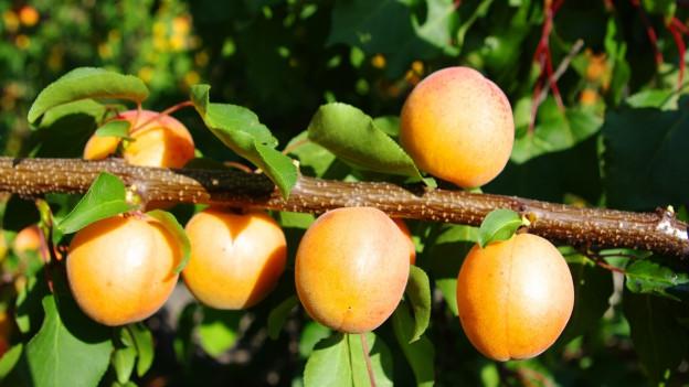 Aprikosen mit Blättern an einem Ast.